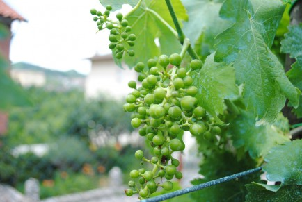 Detail of moscato grapes grown in Augusto's garden.